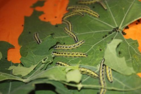 caterpillars9