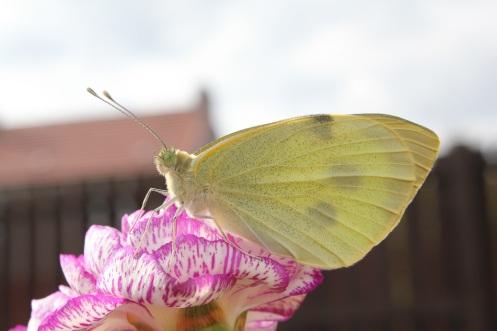 butterfly4