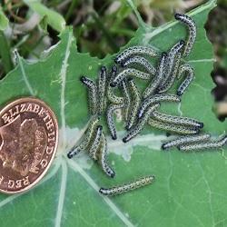 Raising Cabbage White Caterpillars