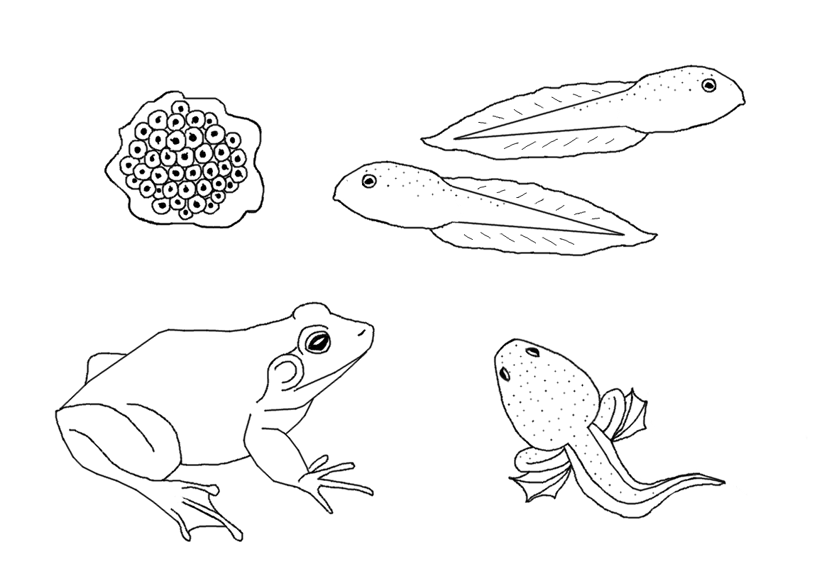 Free coloring pages of butterfly life cycle - Bullfrog Life Cycle Coloring Page