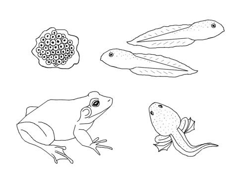 bullfrog life cycle coloring page