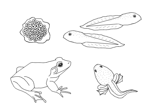 bullfrog life cycle coloring page