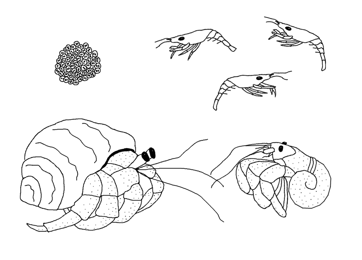 Free coloring pages of butterfly life cycle - Hermit Crab Life Cycle Coloring Page