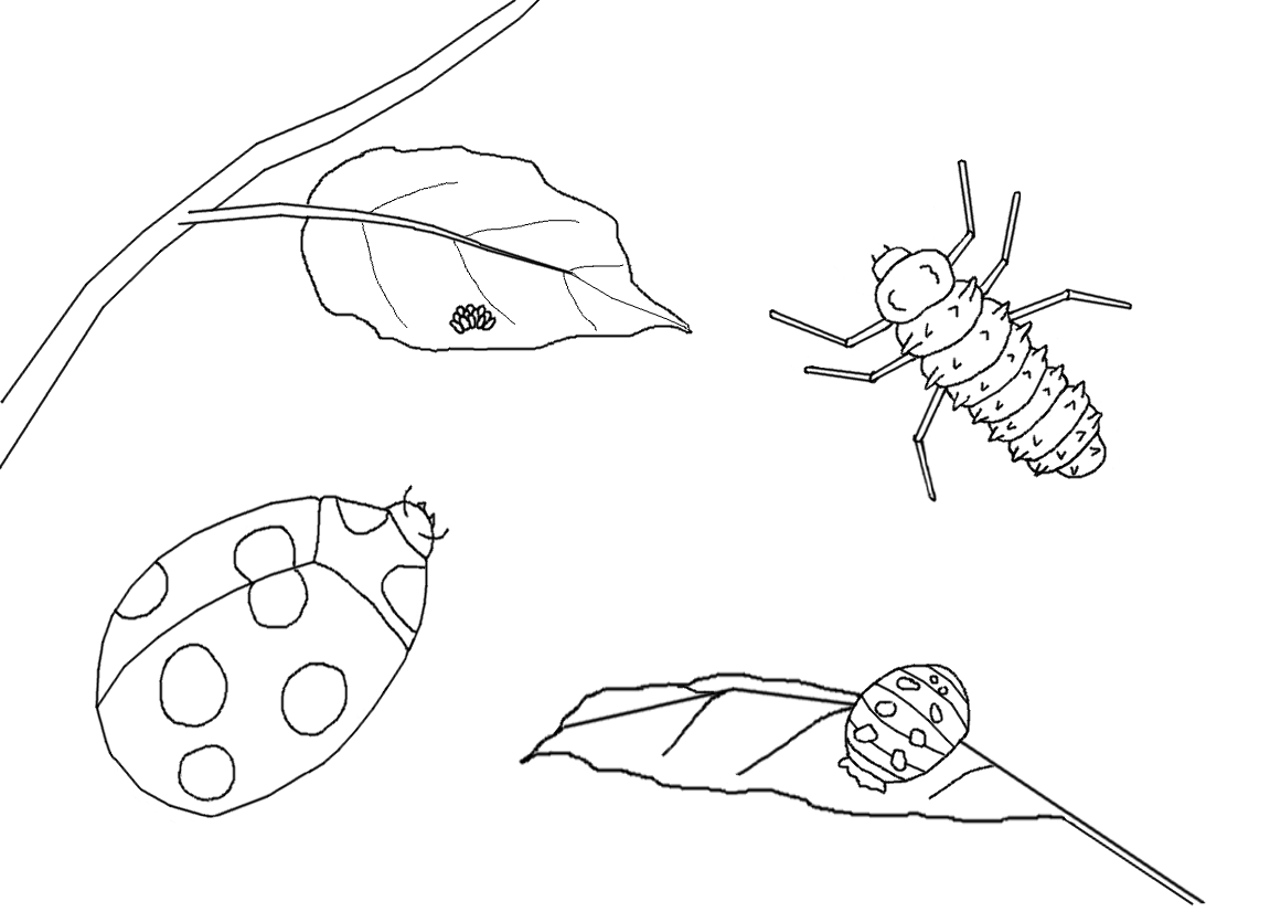 Free coloring pages of butterfly life cycle - Ladybug Life Cycle Coloring Page