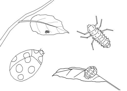 ladybug life cycle coloring page