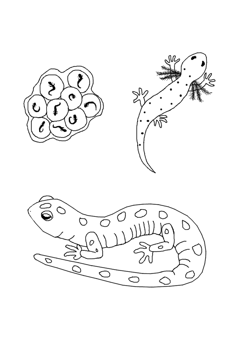 Coloring pages for life cycle of a butterfly - Salamander Live Cycle Coloring Page