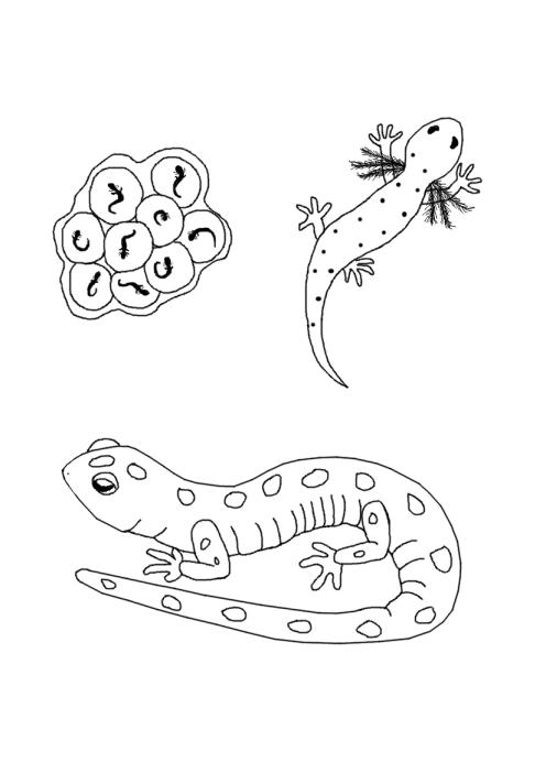 salamander live cycle coloring page